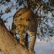 Leopard | Wildlife
