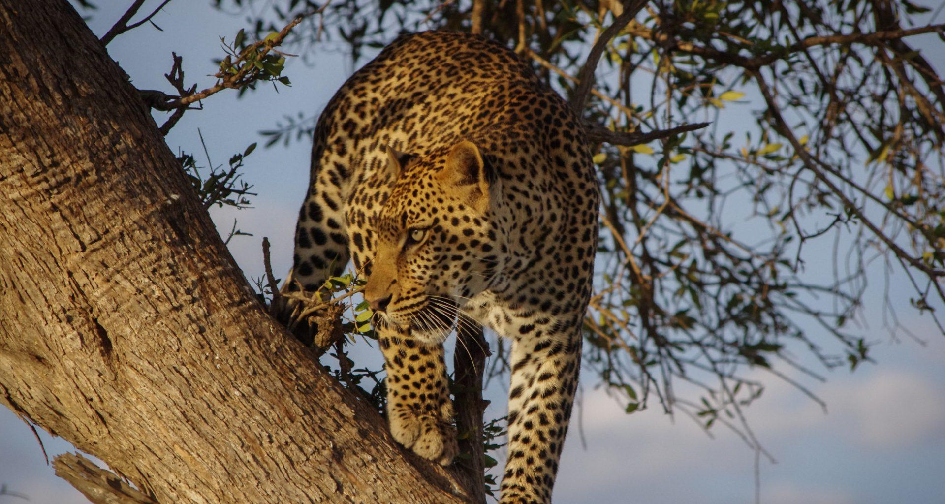 Leopard | Wildlife